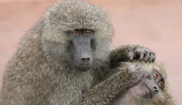 1024px-Grooming_monkeys_PLW_edit